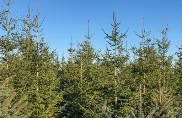 Weihnachtsbaumverkauf im Kreisforstamt Spießingshol