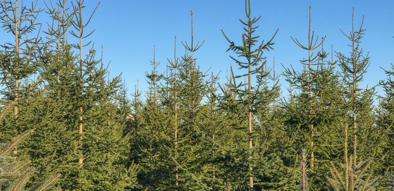 Weihnachtsbäume und Spendengelder gestohlen