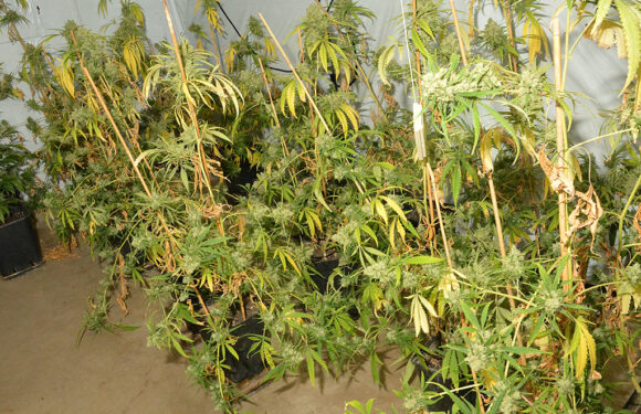 Zwei Tatverdächtige vorläufig festgenommen: Polizei beschlagnahmt Marihuana-Plantage im Auetal