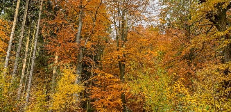Herbstliche Beeren-, Wurzel- und Baumwanderung im Schaumburger Wald