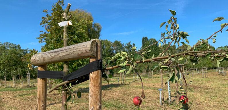 Rinteln: 30 Apfelbäume im Generationenpark zerstört