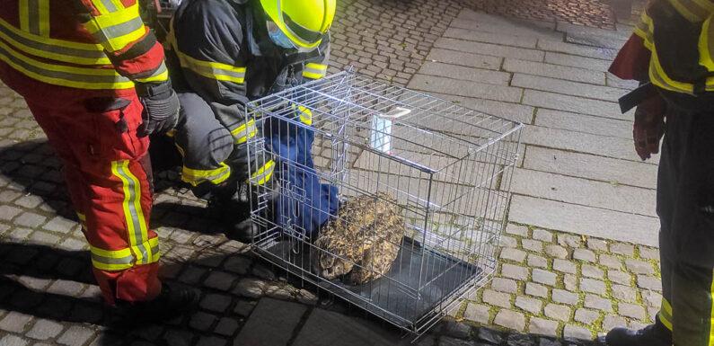 Rettungseinsatz von Polizei und Feuerwehr: Eule in Bückeburger Innenstadt gerettet